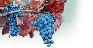 grapevine1.jpg
