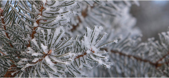 pine-tree1.jpg