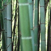 bamboo-photo-t2.jpg